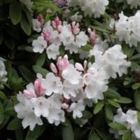 Dunn Gardens Rhododendron Stroll - Sunday April 23, 2017