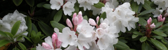 Dunn Gardens Rhododendron Stroll – Sunday April 23, 2017
